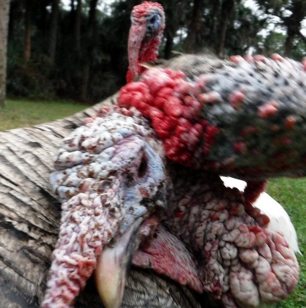 Turkey Snood